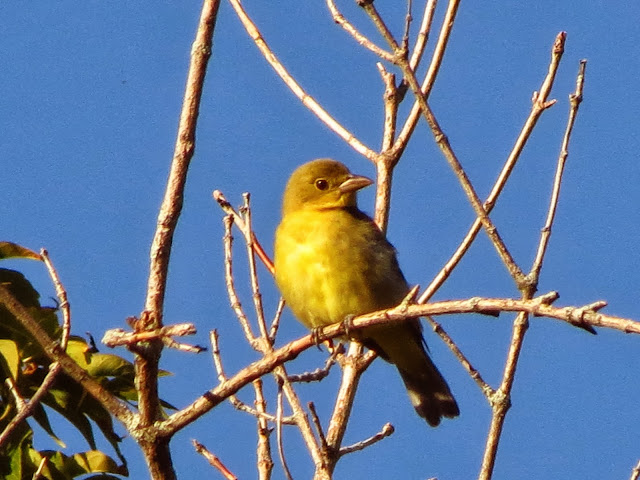 scarlet tanager two