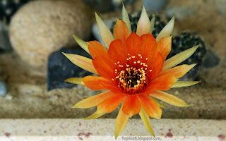 http://fotobabij.blogspot.com/2015/03/kwiat-kaktusa-cactus-flower.html