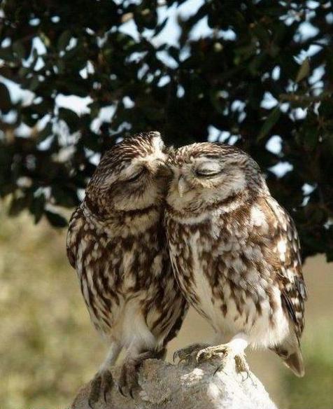 Corujas namorando
