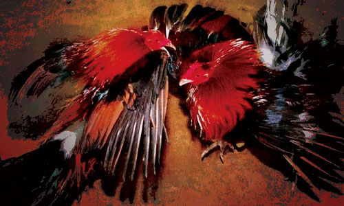 Image result for rooster fighting wallpaper