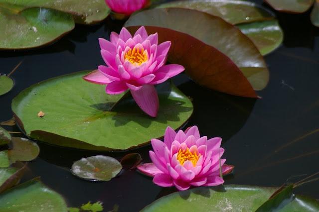 simbologia da flor de lótus; jardim japones