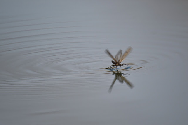 large winter stonefly skimming across water