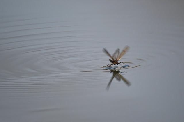 large winter stonefly skimming across water
