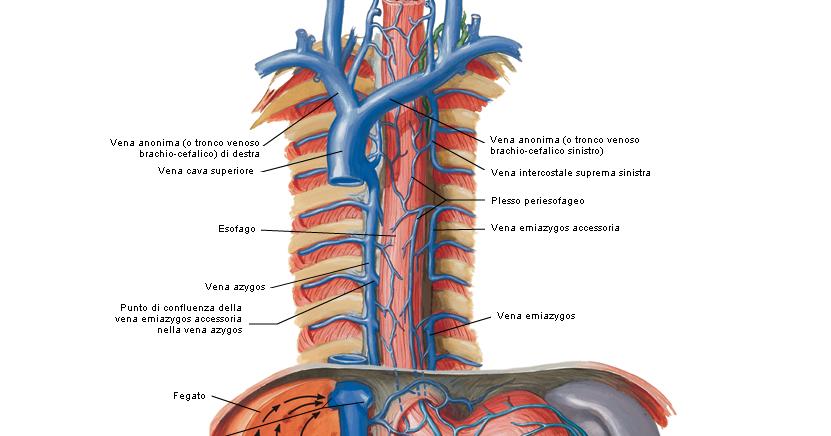 Medicina per passione: Circoli collaterali della vena porta