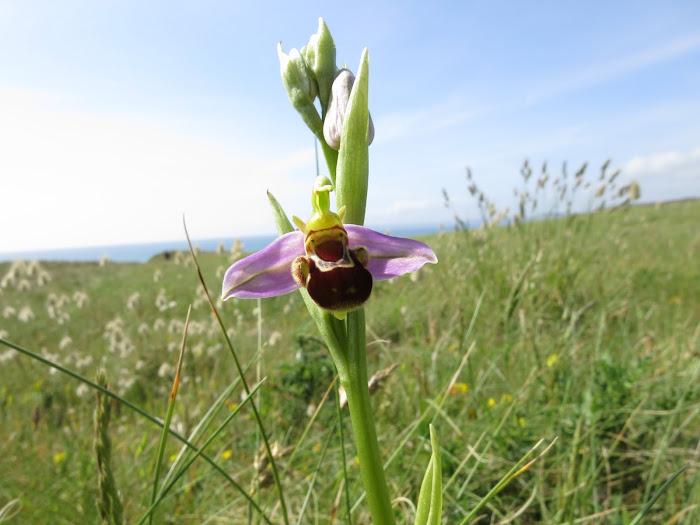 Orchidées Abeille