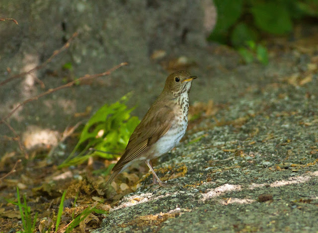 Grey-cheeked Thrush - Central Park, New York