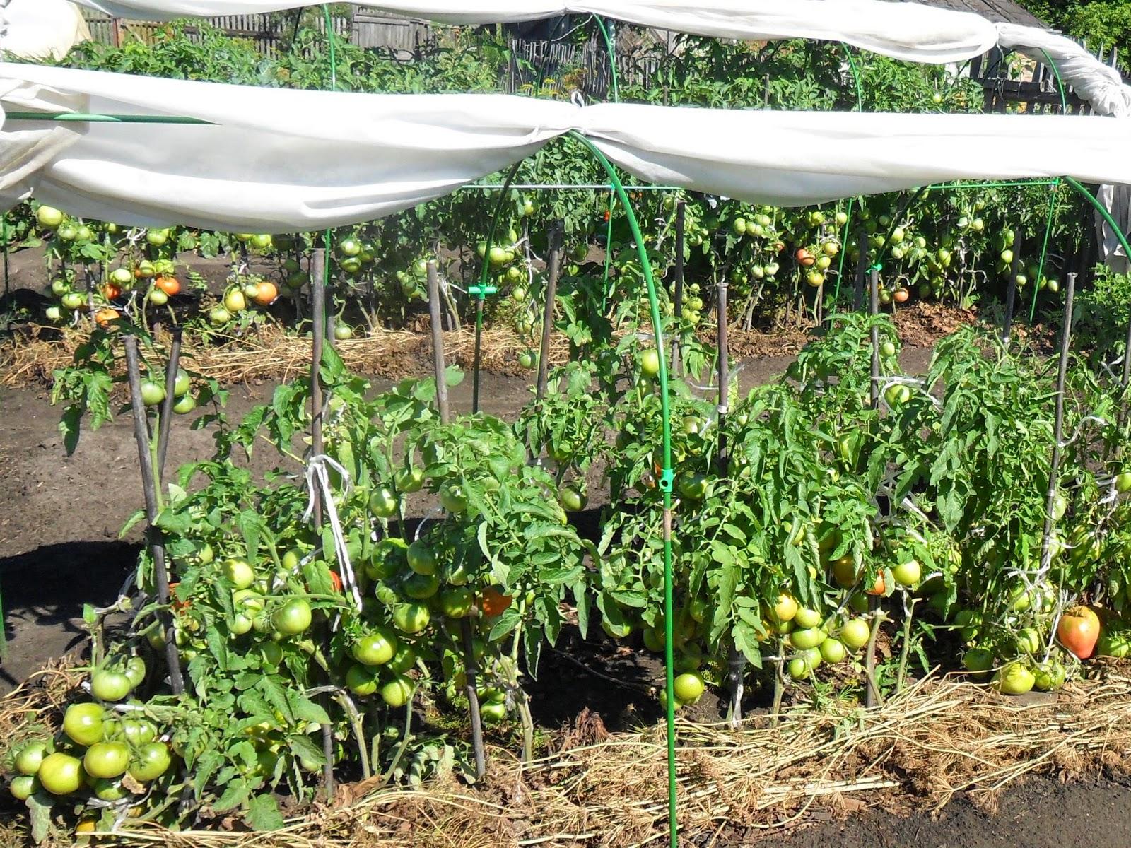 Рассадные помидоры
