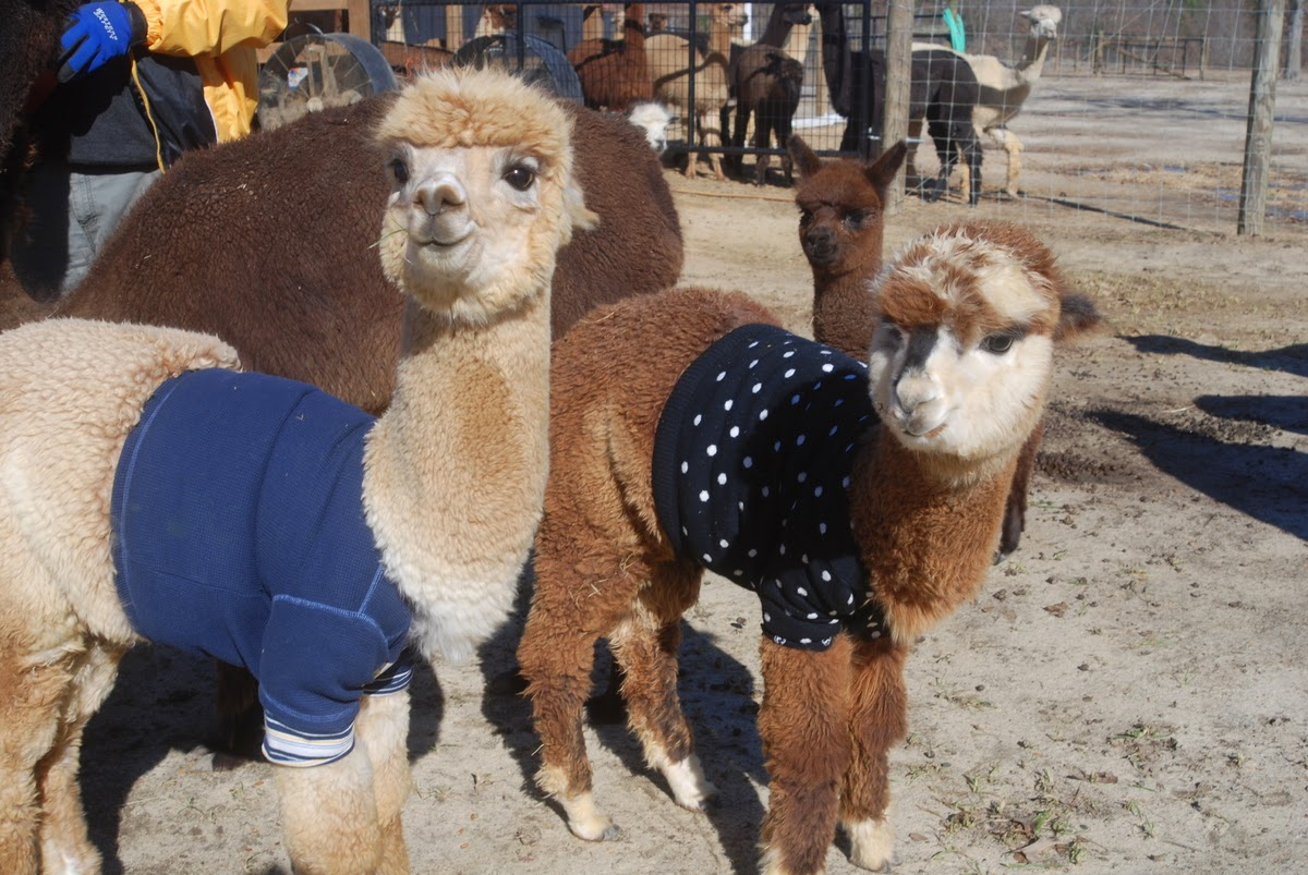 baby alpacas wearing sweaters