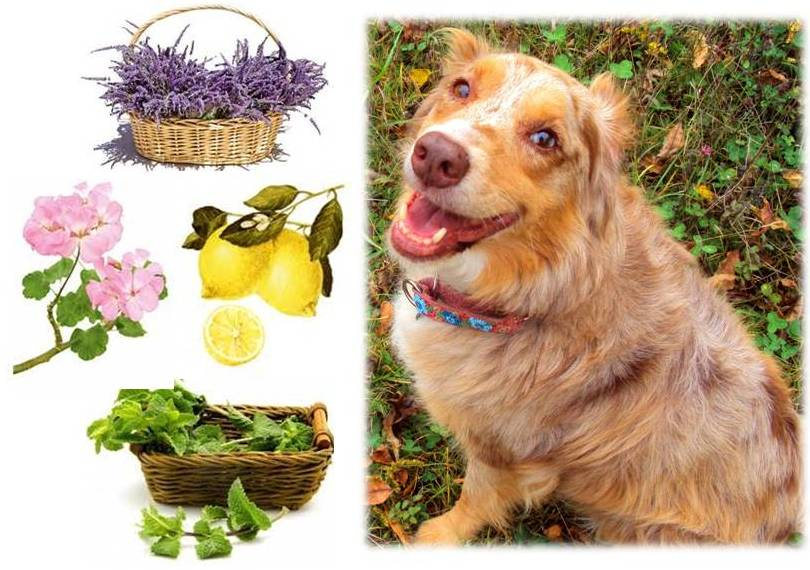 DIY Natural, Herbal Flea, Tick, Mosquito Spot-On and Collar Drops for Dogs and Cats