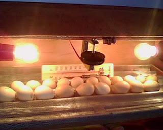 Panduan cara menetaskan telur dengan mesin mesin telur otomatis