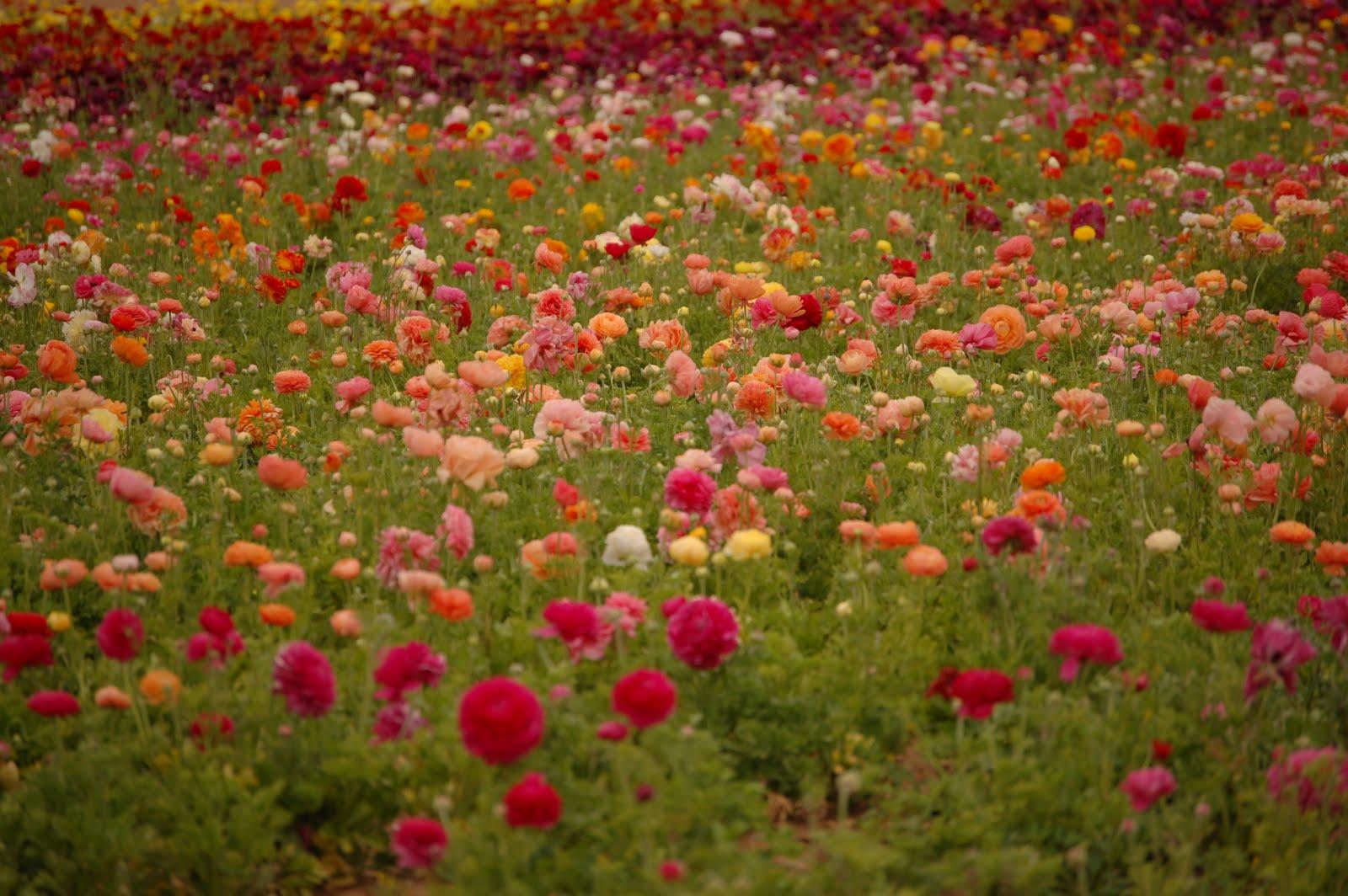 HEY IT S MARJ THE FLOWER FIELDS CARLSBAD CALIFORNIA