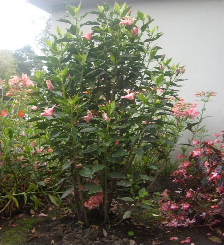 Herbario virtual cafam rosa china - Rosas chinas ...