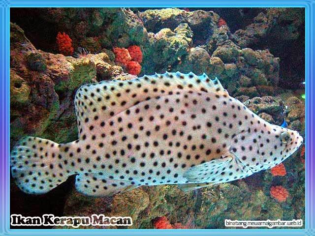 Ikan Kerapu Macan