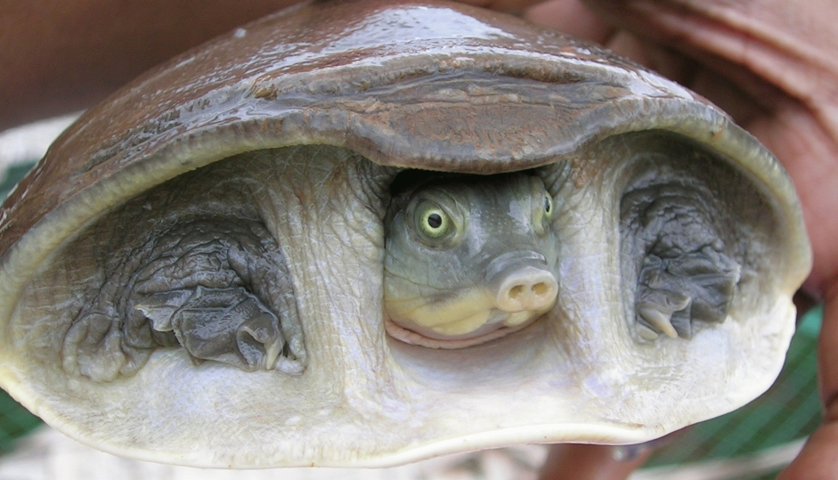Turtle Born Without Shell my 12 Quot Flap Shell Turtle