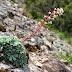 Flora Muntanya Montserrat