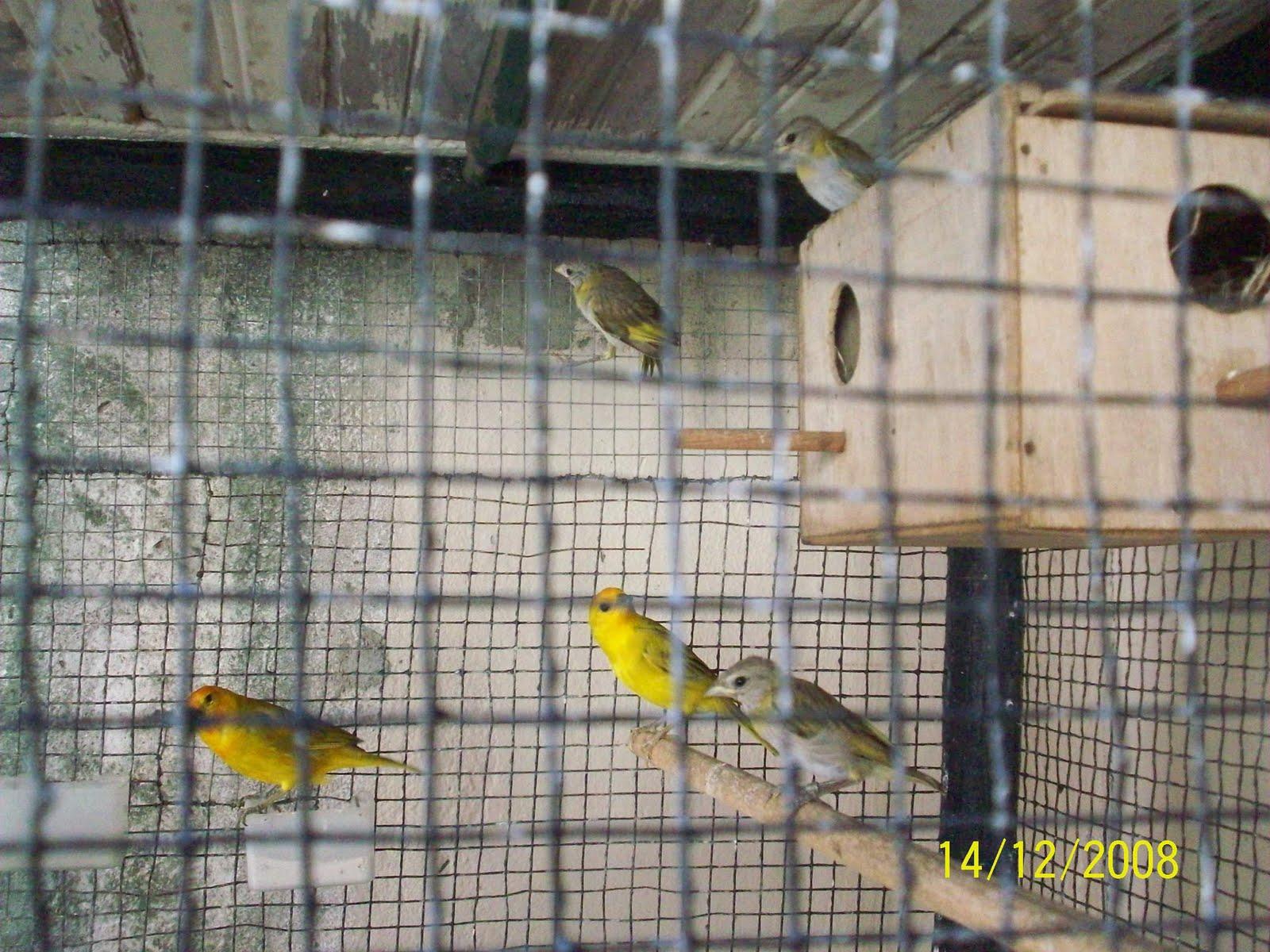 Aviario el ruise or la cr a de canario criollo sicalis for Cria de peces en cautiverio