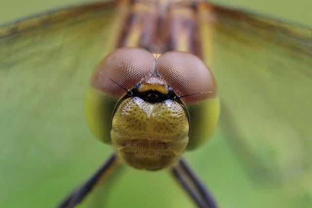 Tierfotos - Libellen - Große Heidelibelle - Facettenaugen
