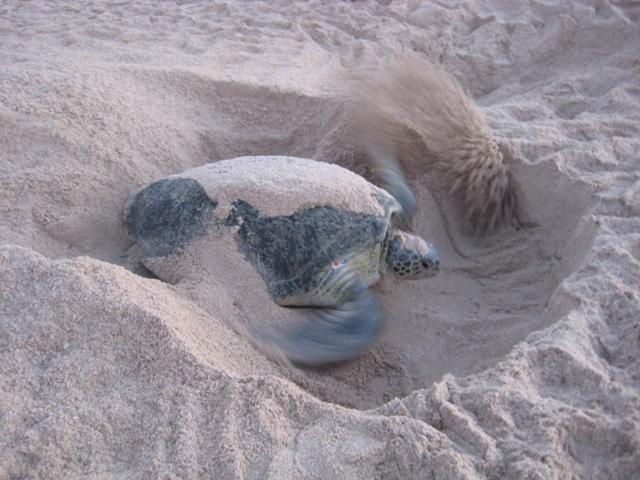Appunti omaniti le tartarughe dell 39 oman for Deposizione uova tartarughe terrestri