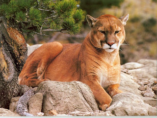 Black Hills Mountain Lion