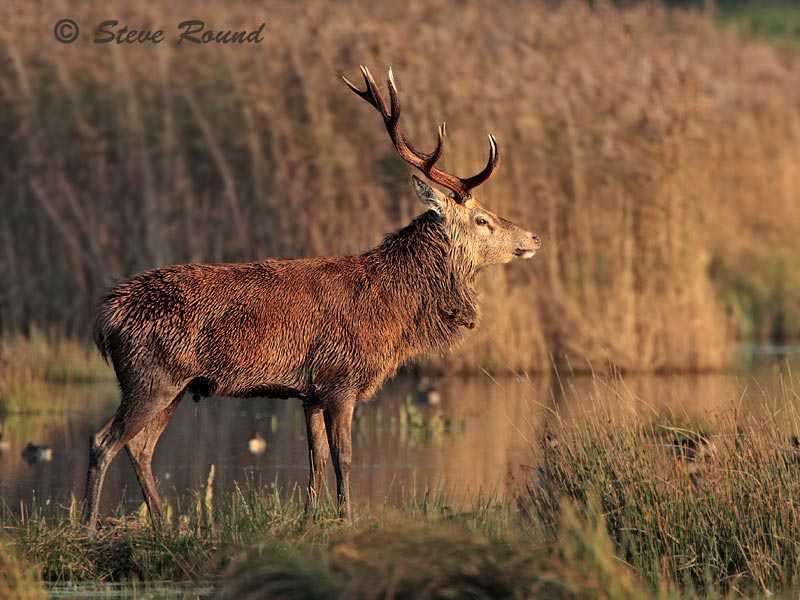 Red Deer, mammal, animal, stag, rutting