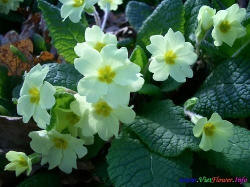 Ý nghĩa hoa Anh thảo