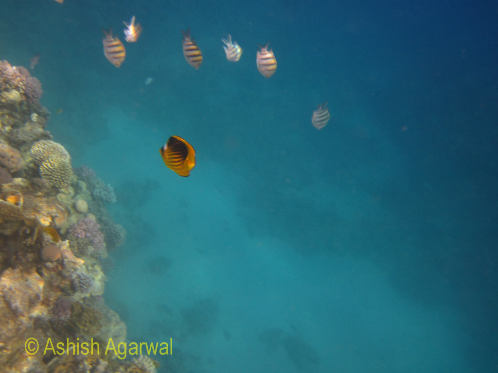 Colorful fish just next to a coral reef in the Red Sea in the Ras Muhammad water park in Egypt