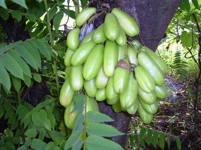 belimbing wuluh manfaat buah belimbing 1 manfaat belimbing wuluh ...