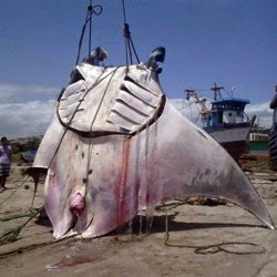 manta ray accidentally caught!