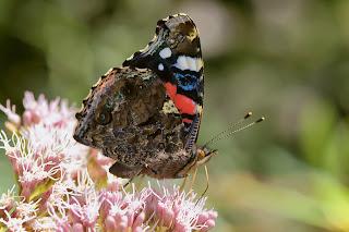 Para ampliar  Vanessa atalanta (Linnaeus, 1758) Almirante rojo, vanesa, vulcana, mariposa de la reina hacer clic
