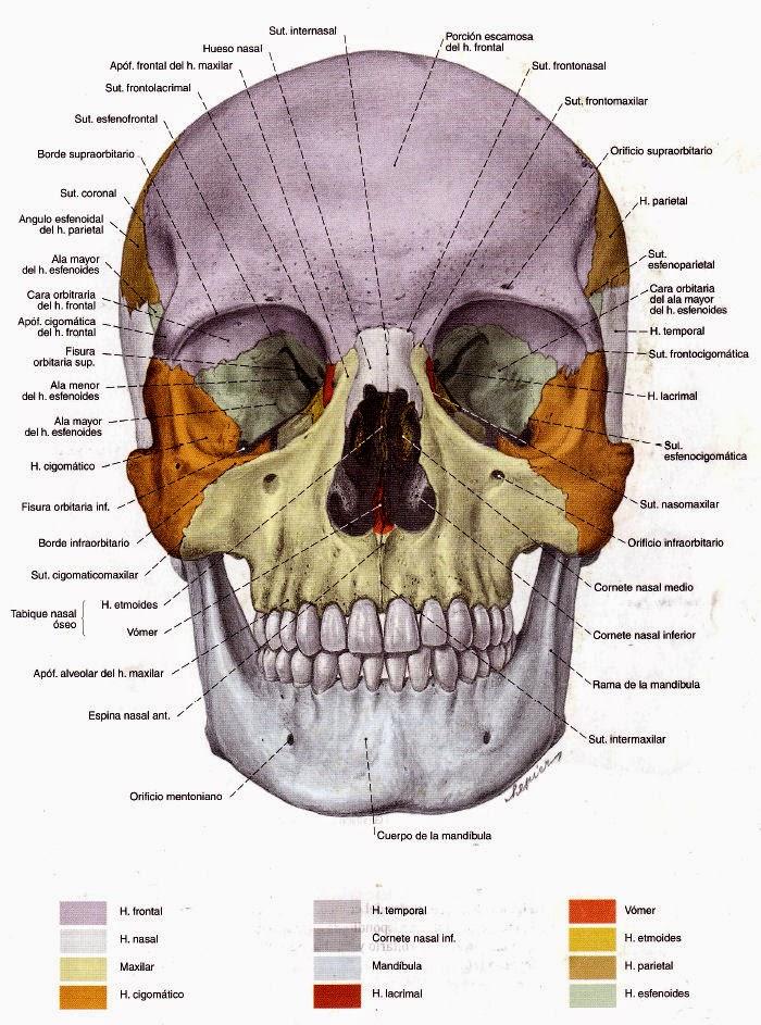 Asombroso Juegos De Etiquetado Anatomía Del Cráneo Ornamento ...