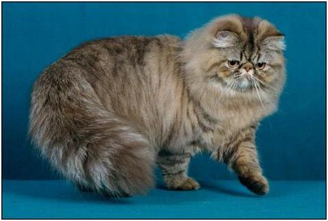 Persian cats breed: July 2013 Tabby Persian