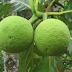 Αρτόδεντρο: Το φρούτο που μπορεί να λύσει το πρόβλημα της παγκόσμιας πείνας
