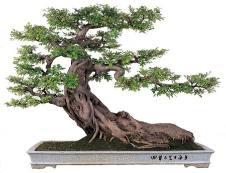 El origen chino de los árboles en miniatura Bonsai_21
