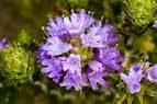 Flor de tomillo