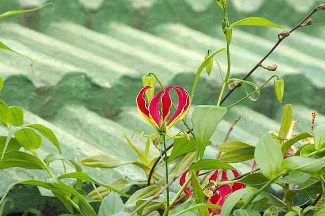 Okinawan tiled roof, Fire Lily, flowers, leaves, vine