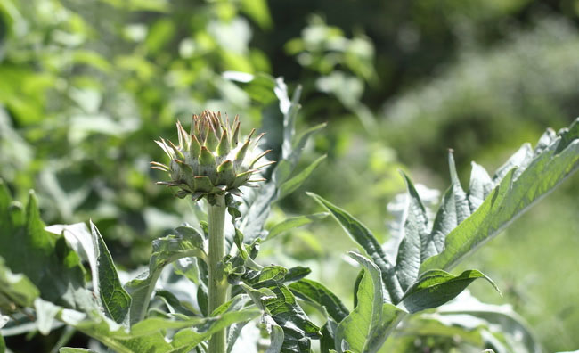 Cardoon Flowers Pictures