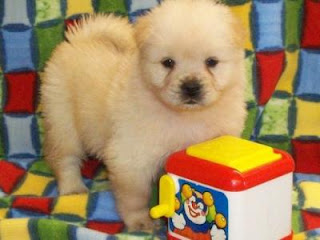 very cute chow chow puppy playing with toys picture