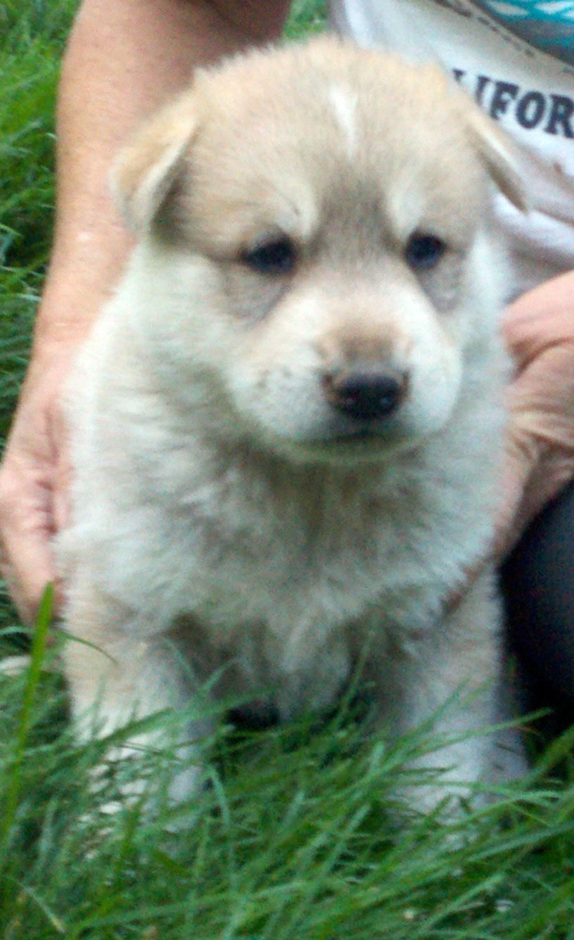 Shika Puppy 2 - Female - Wolf Hybrid Puppy for sale