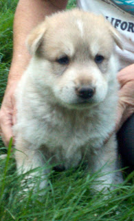 Wolf Wolves Dog Dogs Wolfdogs Puppies Pups Pup Cubs For Sale