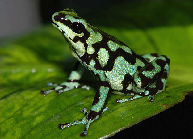Poison Dart Frogs | The Most Poisonous Animal | The Wildlife Green Poisonous Frogs