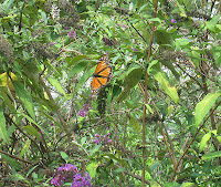 Monarchs in Ferida's backyard