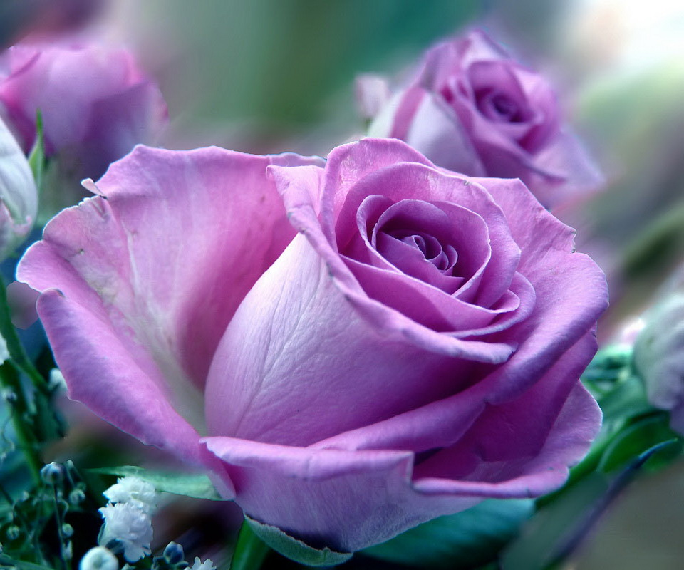 Purple Rose Mobile Wallpaper For 960X800 Android Phones