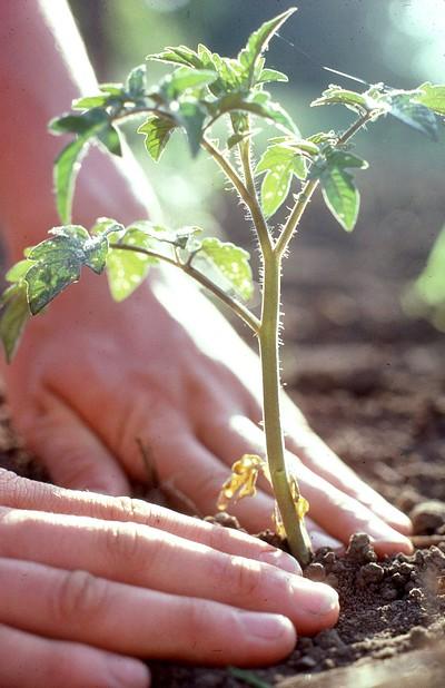 Coltivare pomodori in vaso o nell 39 orto cucina green for Piantare pomodori
