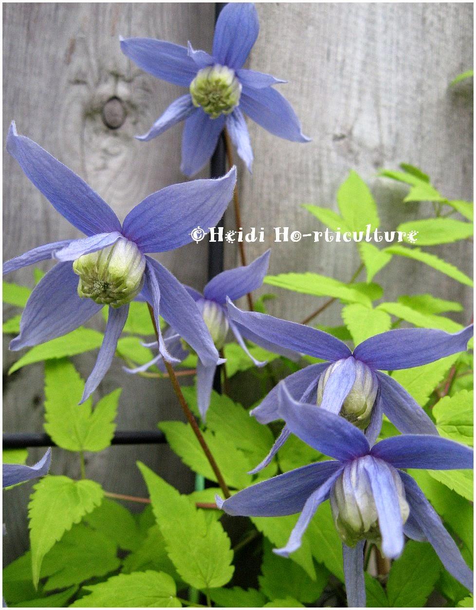 heidi horticulture plant profile stolwijk alpina blue. Black Bedroom Furniture Sets. Home Design Ideas