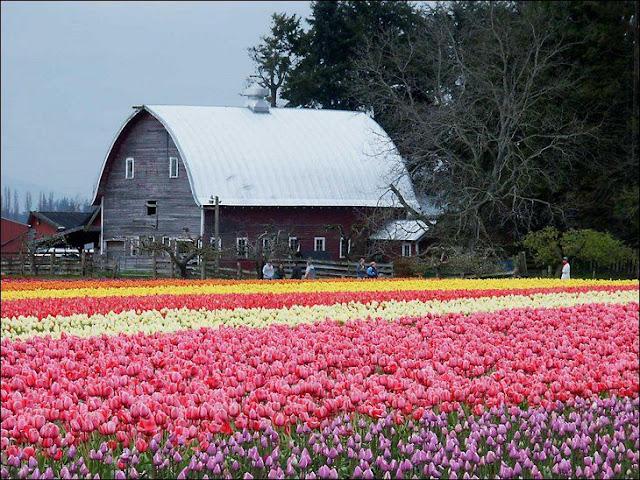 09 شهر مايو في هولندا  موسم حصاد زهور التوليب  جنة على الأرض
