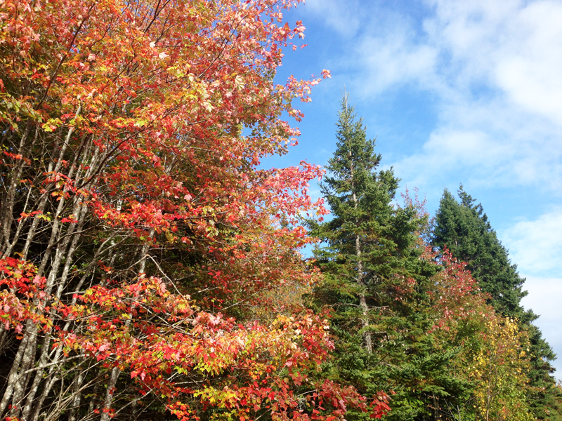 beautiful leaves during autumn in cape breton