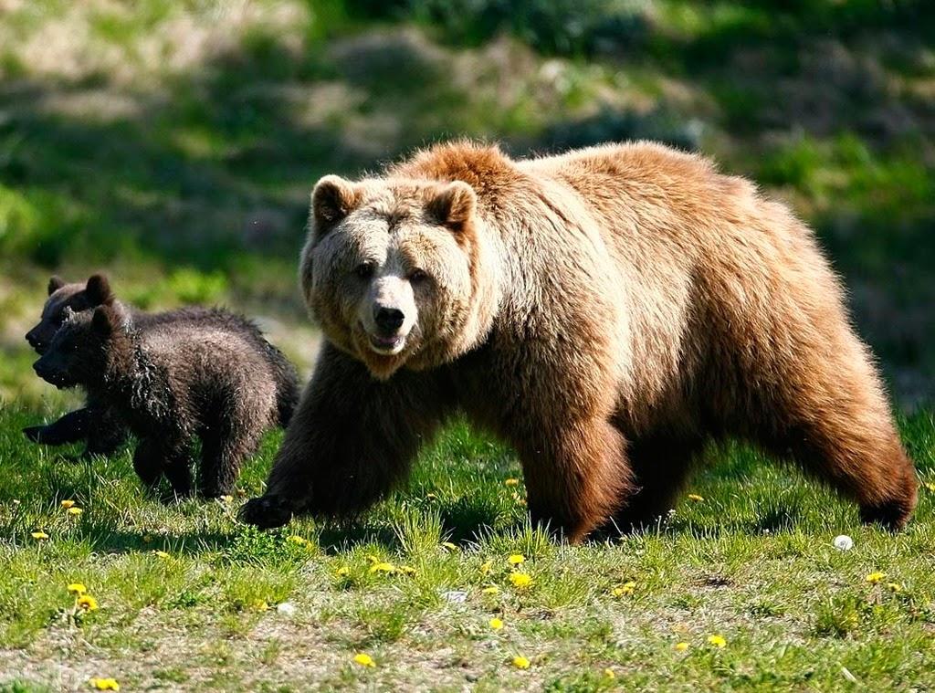 ΚΑΣΤΟΡΙΑ:Συγκροτήθηκε Επιτροπή Διαχείρισης Κρίσεων με αρκούδες