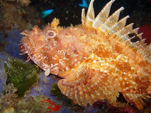 Peces y plantas ornamentales scorpaena scrofa cabracho for Reproduccion de peces ornamentales