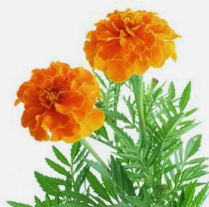 How to Start a Marigold Farming Business