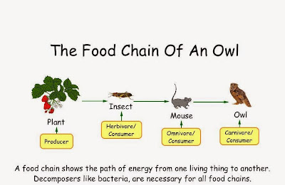 The food chain of an owl